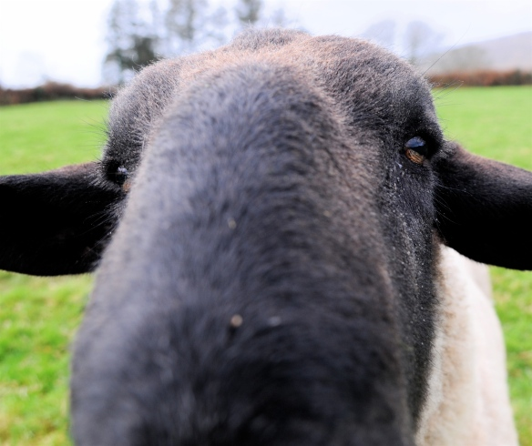 Close encounters of the woolly kind