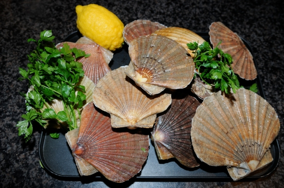 Scallops fresh from the bay.